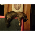 cat kitty feline pet funny domestic sleepy sleeping lazygoofy easel kitten