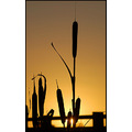 silhouette nature reeds bullrushes sunset