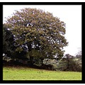 landscape tree oak cornwall
