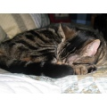 animal pet cat sleeping