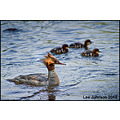 wildlife natural history birds divers goosander spideyj