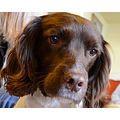 tangle springer spaniel merrett