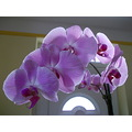 sunday orchid