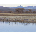 Sandhill Cranes at Bosque del Apache, Socorro, New Mexico