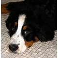 france fontainebleau animal dog bernese cenna franx fontx animx dogx