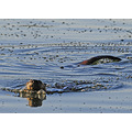 river otters in my lake otter