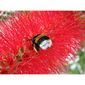flower bug Crimson Bottlebrush bumblebee