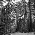 park tree tall nature forest yosemite bw