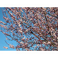 bluesky pink pinkfph tree