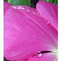 pink flower reflecting water drops
