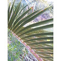 zamia palm frond plant nature