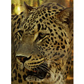 Persian cat feline leopard animal mammal nature wildlife