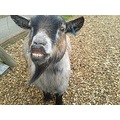goat smile butterfly world