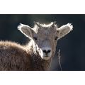 big horn sheep nature canada