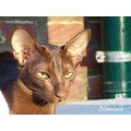 Oriental Shorthair Cat havana