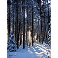 winter snow forest pine tree sun light shadow