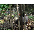 A female Coot nesting. If you look closely you will see the chicks just peeking out from under th...