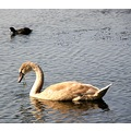 netherlands baambrugge animal bird swan nethx baamx birdx swanx waten