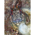 Tompot Blenny Cala Santanyi Diving Mallorca