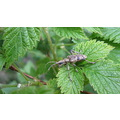 Beetle Black Currant Leaves