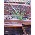 balga grass tree blackboy plant nature