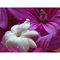 pink and white mallow and white rose pikake