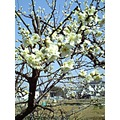 flower of ume Japanese apricot