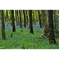 trees bluebells woods nature
