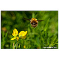 Nature Wildlife Bee Flower Flying Insect