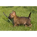 dogs dog Cairn terrier