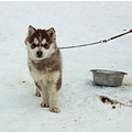 dogs husky dogsled racing little fluffy puppy