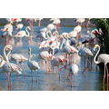 Flamingos carlsbirdclub birds wildlife camargue france