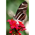 butterfly zebra longwing