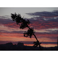 flax bush sunrise NZ littleollie