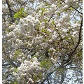 trees blossoms white flowers