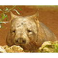 wombat marsupial animal mammal nature wildlife Australia