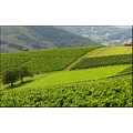 Wineyards vines field meadow countryside France Beaujolais landscape