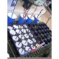 This is a picture of the beginning of the hibiscus experiment.  They look about the same today bu...