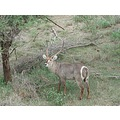 nature waterbuck