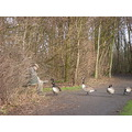 geese feeding birds winter