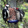 Woodpecker and Young