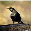 birds newzealand native tui