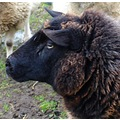netherlandsuitermeer animal sheep nethx uitex animx sheex