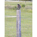 magpie fence post paddock bird animal nature