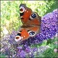 peacockbutterfly butterfly buddleia