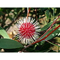 pin cushion hakea