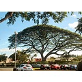A monkey pod or rain tree.  A lovely green oasis in a huge Kaneohe shopping mall parking lot???  ...