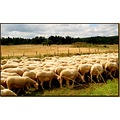 animals sheeps France summer meadow field nature wildlife countryside