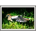 Bird Dove wildlife carlsbirdclub pankey wildspirit