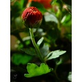 flower red nature macro jett366 pinoykodakeros